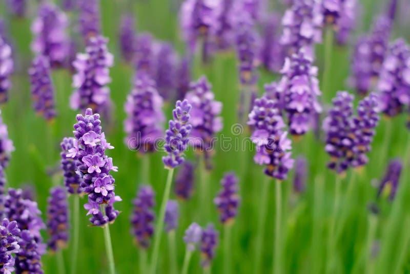 De Bloemen van de lavendel royalty-vrije stock foto's