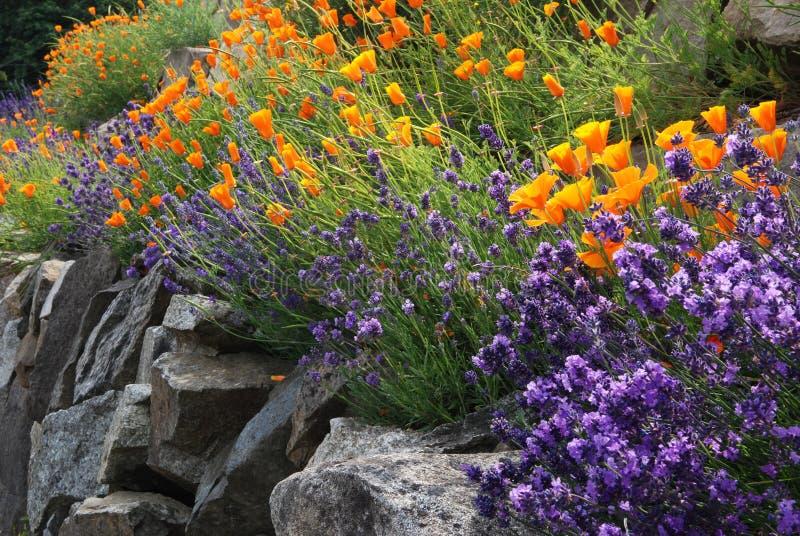 De bloemen van de lavendel en van de papaver stock foto
