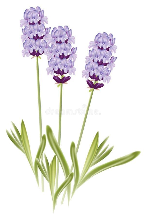 De bloemen van de lavendel (Lavandula) royalty-vrije illustratie