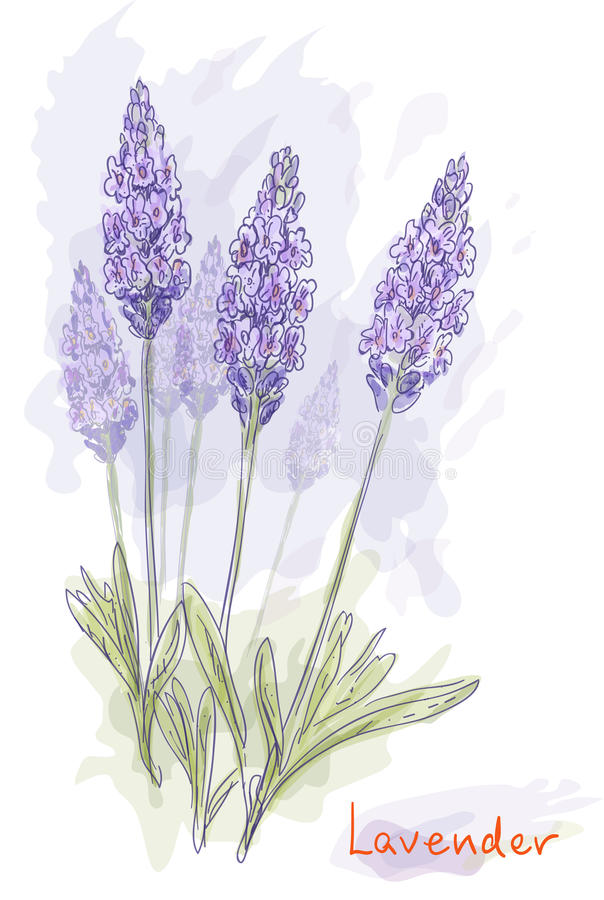 De bloemen van de lavendel (Lavandula). royalty-vrije illustratie