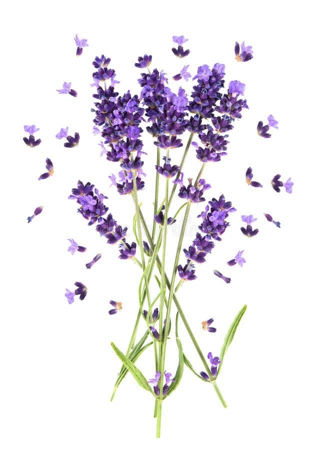 De bloemen van de lavendel op wit Verse provencal installatie stock afbeelding