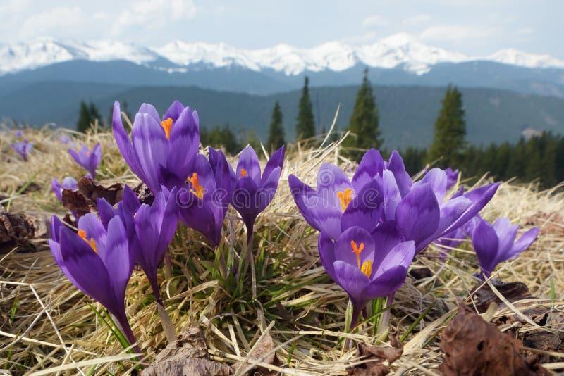 De bloemen van de lente in bergen royalty-vrije stock afbeelding