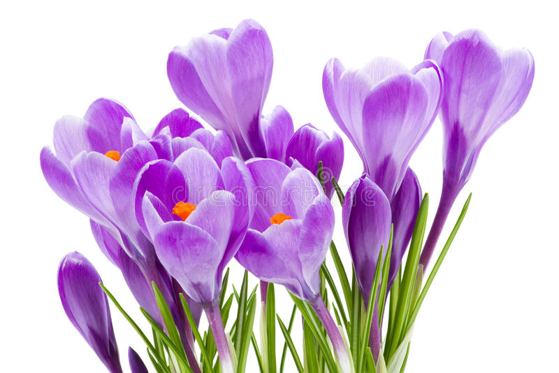 De bloemen van de lente, krokus, die op wit wordt geïsoleerda royalty-vrije stock foto