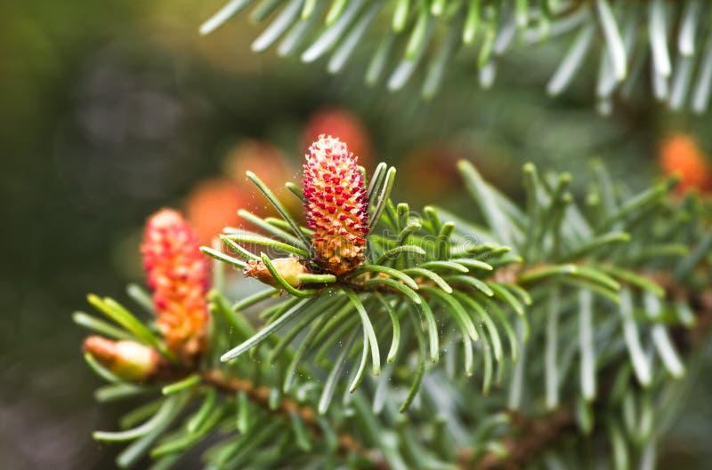 De bloemen van de lente op abies van Sparren of Picea royalty-vrije stock afbeeldingen