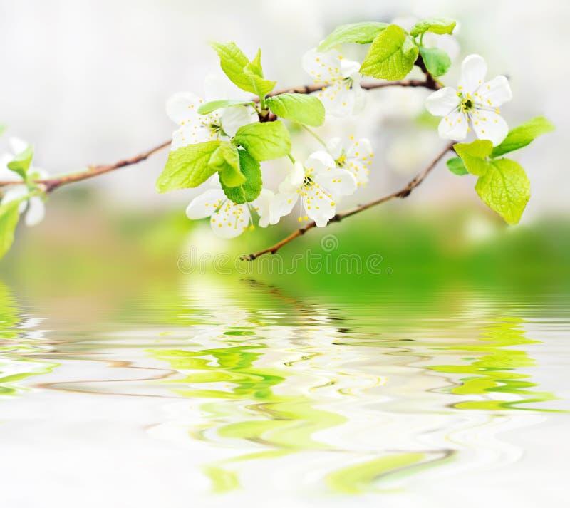 De bloemen van de lente op tak op watergolven royalty-vrije stock foto