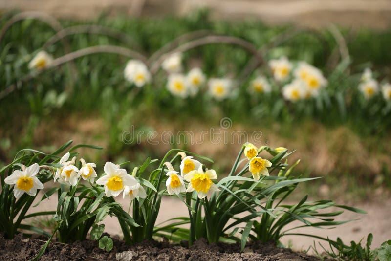 De bloemen van de lente in tuin royalty-vrije stock afbeelding
