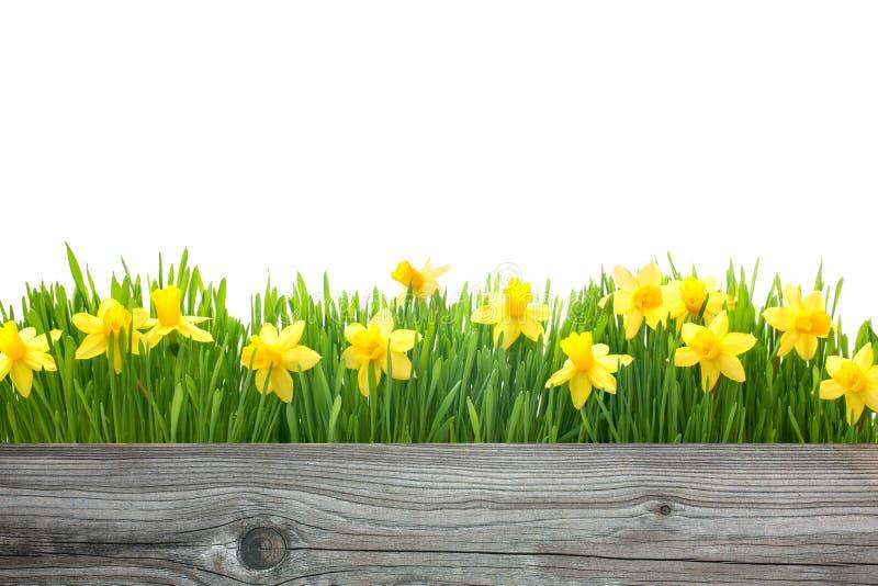 De bloemen van de lentegele narcissen royalty-vrije stock foto