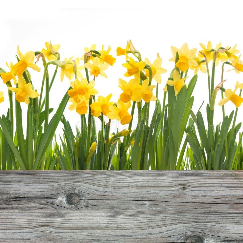 De bloemen van de lentegele narcissen royalty-vrije stock foto's
