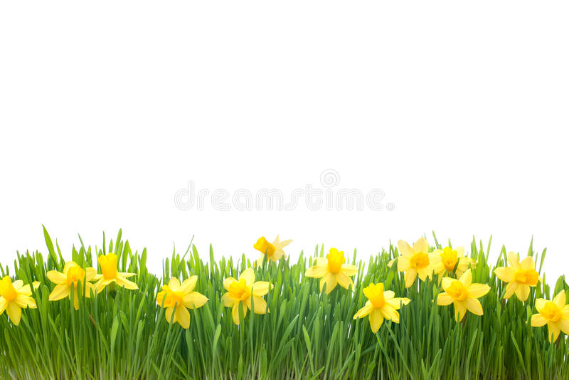 De bloemen van de lentenarcissen in groen gras royalty-vrije stock fotografie