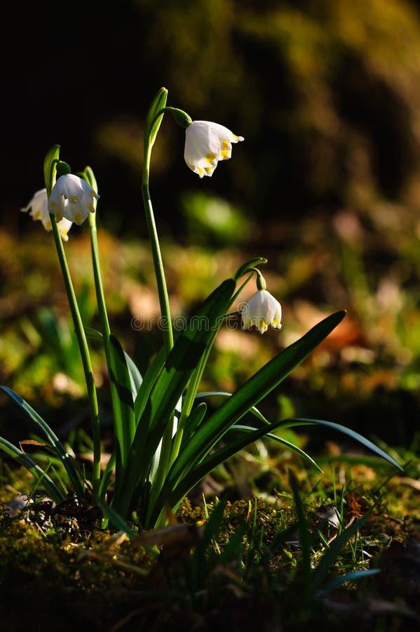 De bloemen van de lentesneeuwvlokken royalty-vrije stock foto