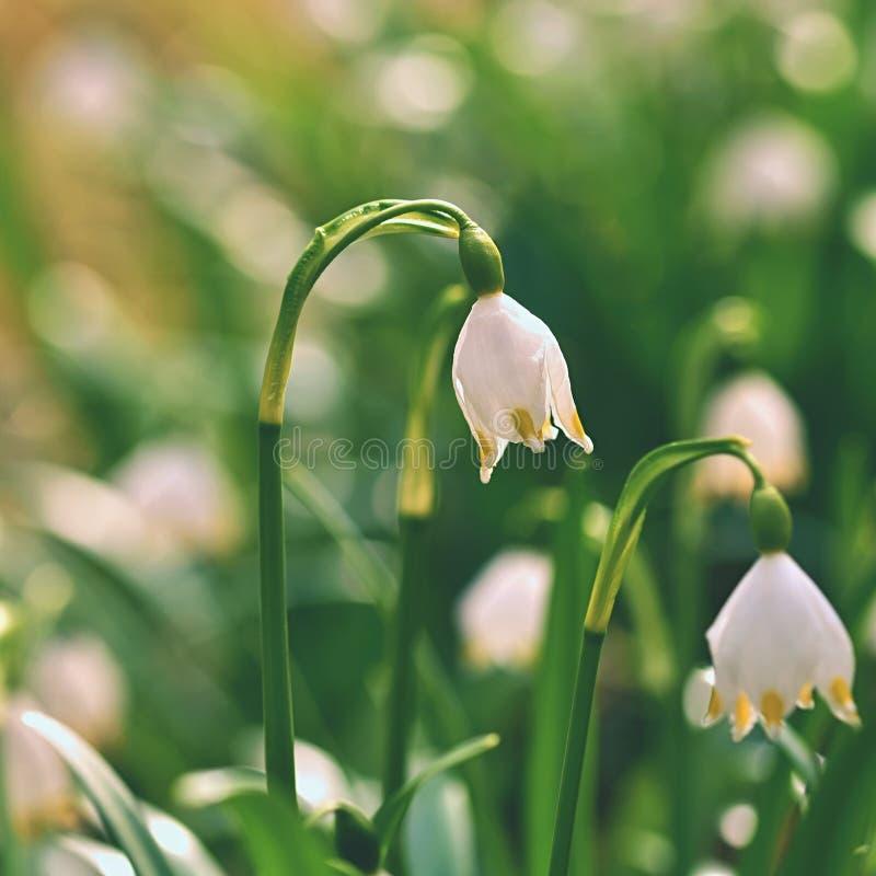 De bloemen van de lentesneeuwvlokken carpaticum Mooie bloeiende bloemen van leucojumvernum in bos met natuurlijke gekleurde achte stock fotografie