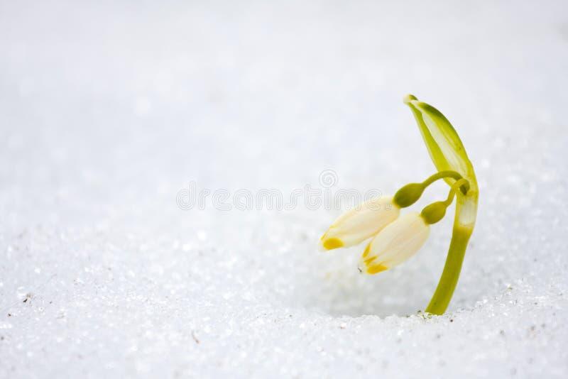 De bloemen van de lentesneeuwvlokken - carpaticum van leucojumvernum royalty-vrije stock fotografie