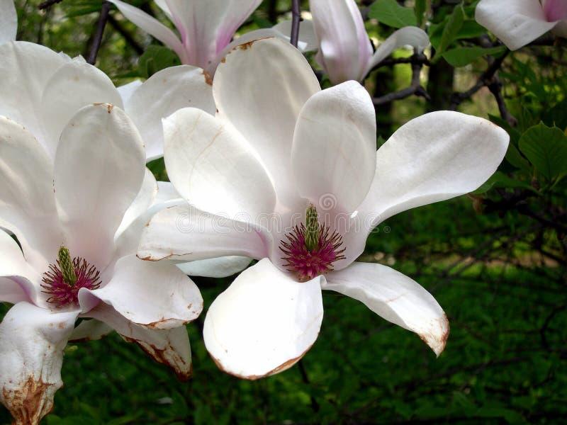 De Bloemen van de magnolia royalty-vrije stock fotografie
