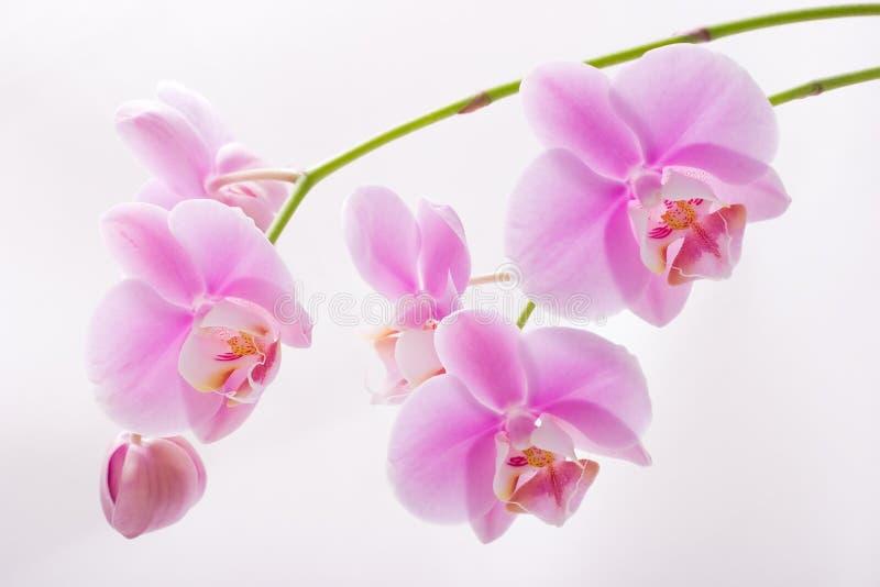 De bloemen van de orchidee op wit royalty-vrije stock afbeelding