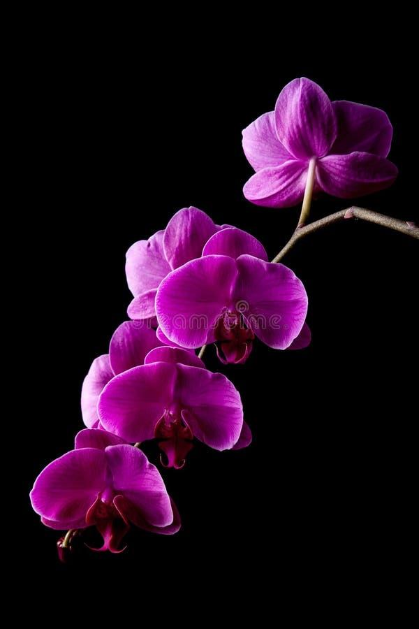 De bloemen van de orchidee op zwarte achtergrond stock afbeeldingen