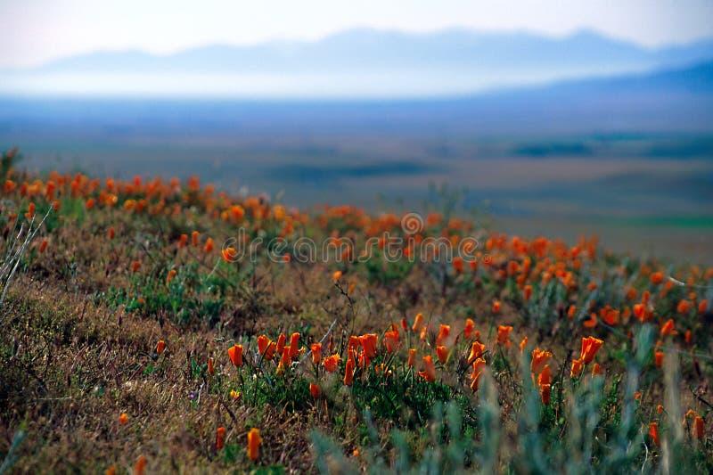 Papaverbloemen stock afbeelding
