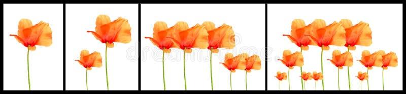 De bloemen van de papaver het stijgen stock afbeelding
