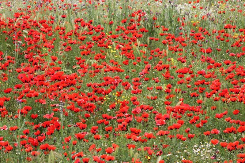 De bloemen van de papaver op het gebied royalty-vrije stock afbeeldingen