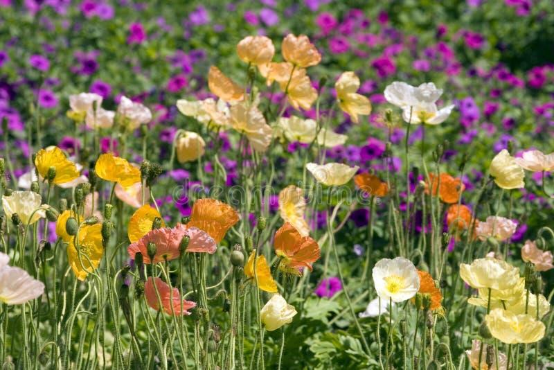 De bloemen van de Papaver van IJsland stock foto's