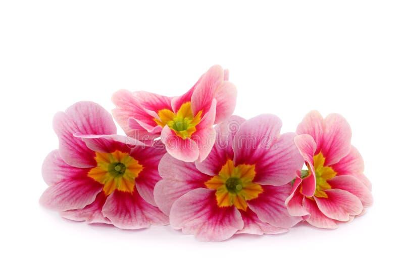 De bloemen van de primula stock foto's