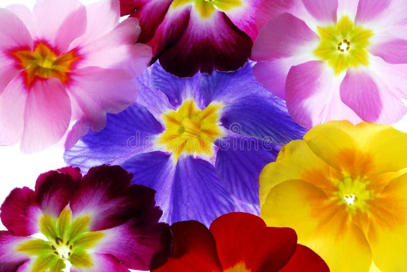 De Bloemen van de primula stock afbeeldingen