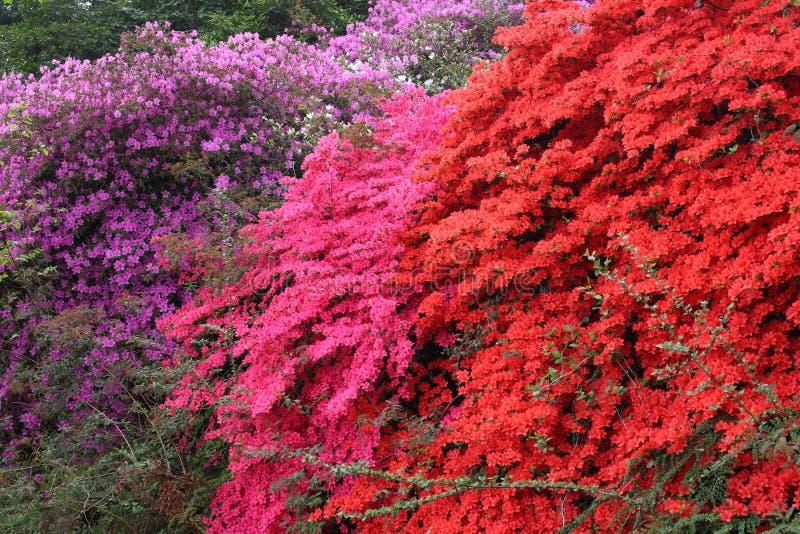 De bloemen van de Rododendron van de azalea royalty-vrije stock foto's
