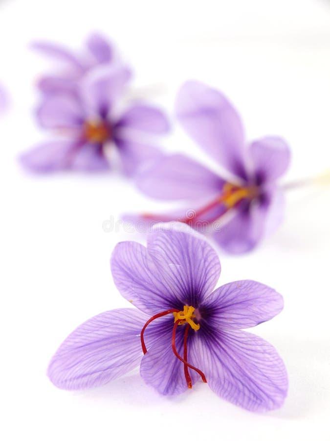 De bloemen van de saffraan royalty-vrije stock foto