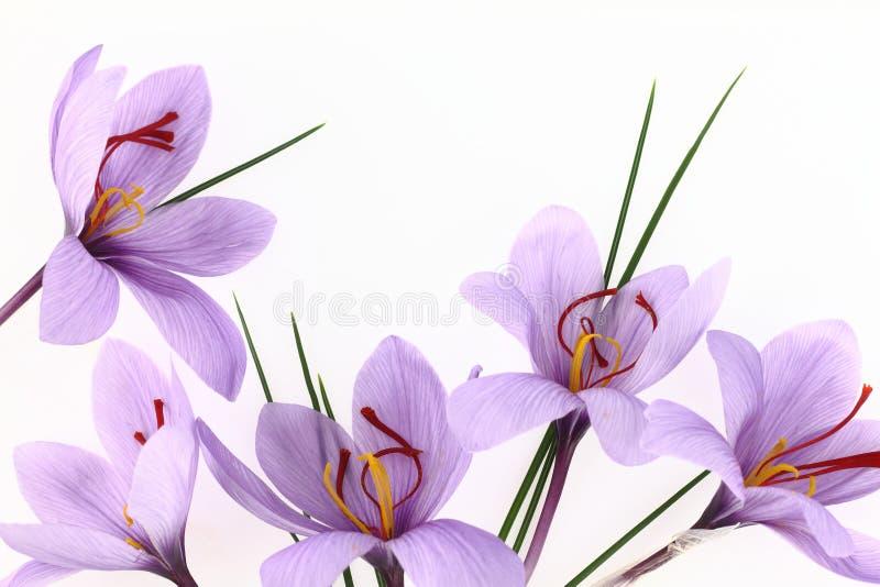 De bloemen van de saffraan royalty-vrije stock afbeelding