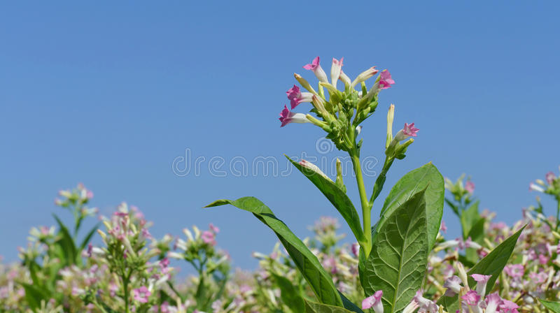 De bloemen van de tabaksinstallatie royalty-vrije stock fotografie