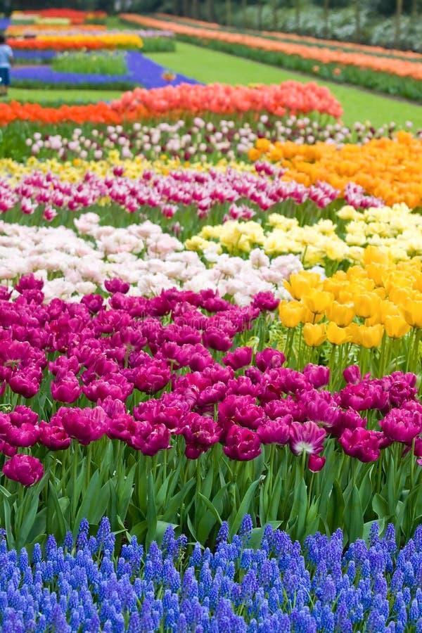 De bloemen van de tuin in lente-Keukenhof binnen royalty-vrije stock afbeelding