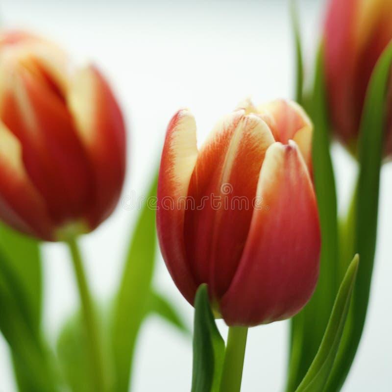 De bloemen van de tulp. royalty-vrije stock foto