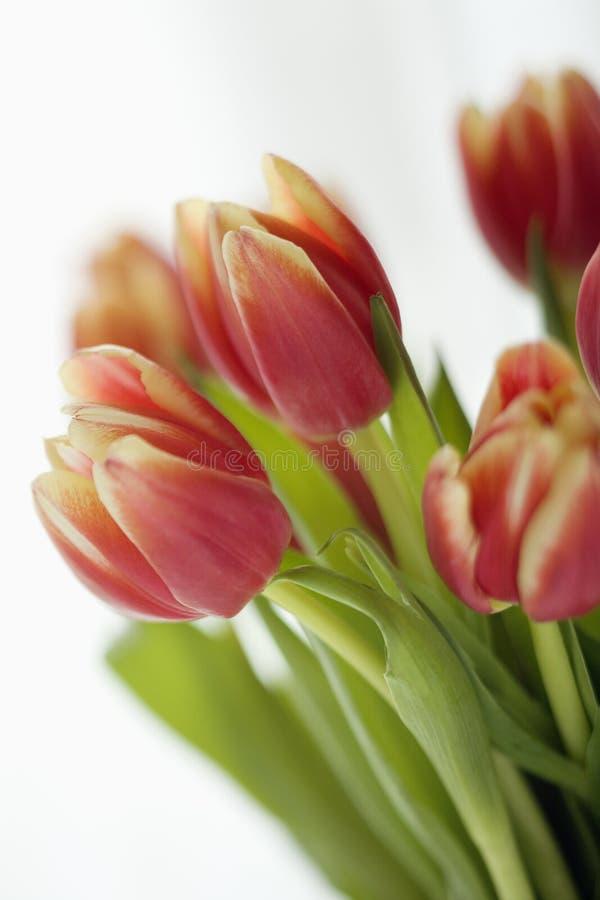 De bloemen van de tulp. stock foto