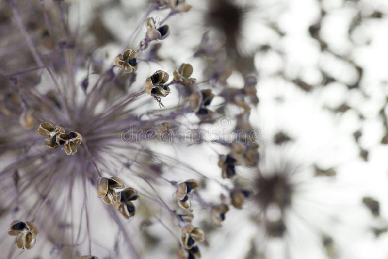 De bloemen van de ui stock afbeelding