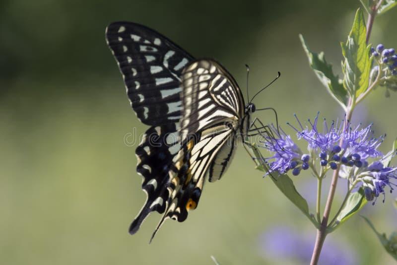 De bloemen van de vlinderliefde stock fotografie