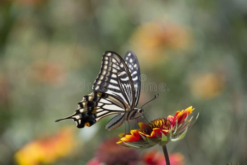 De bloemen van de vlinderliefde royalty-vrije stock foto