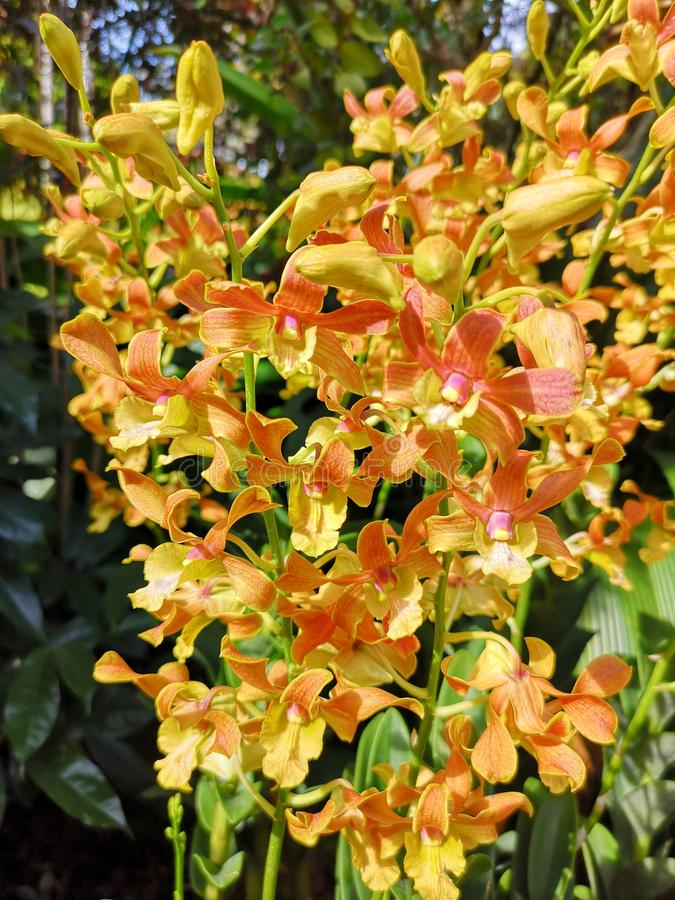 De bloemen van Dendrobiumamitabh bachchan orchid in de foto van de de tuinvoorraad van Singapore stock fotografie
