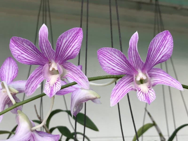 De Bloemen van de Dendrobiumorchidee stock afbeelding