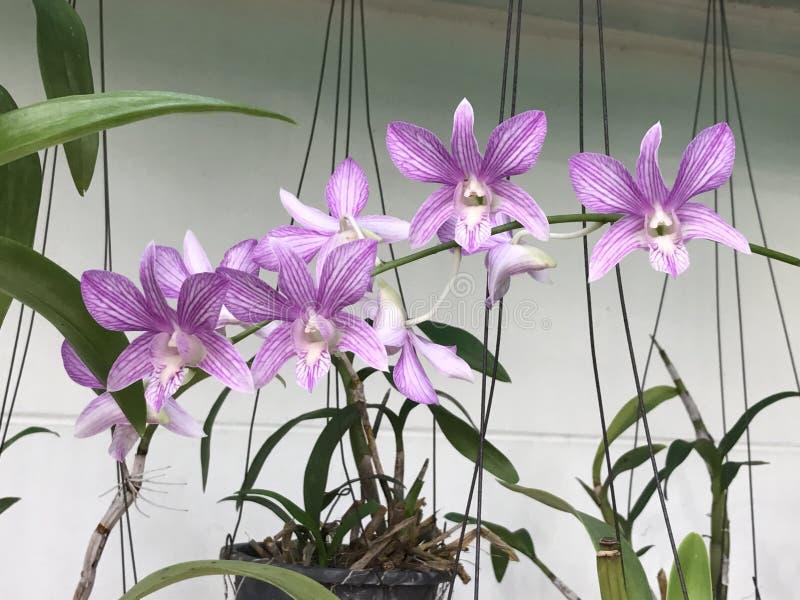 De Bloemen van de Dendrobiumorchidee royalty-vrije stock afbeeldingen