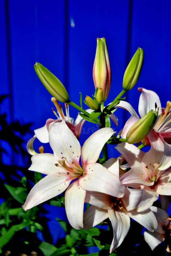 De bloemen van een zachte roze lelie sluiten omhoog op een vage blauwe achtergrond stock foto