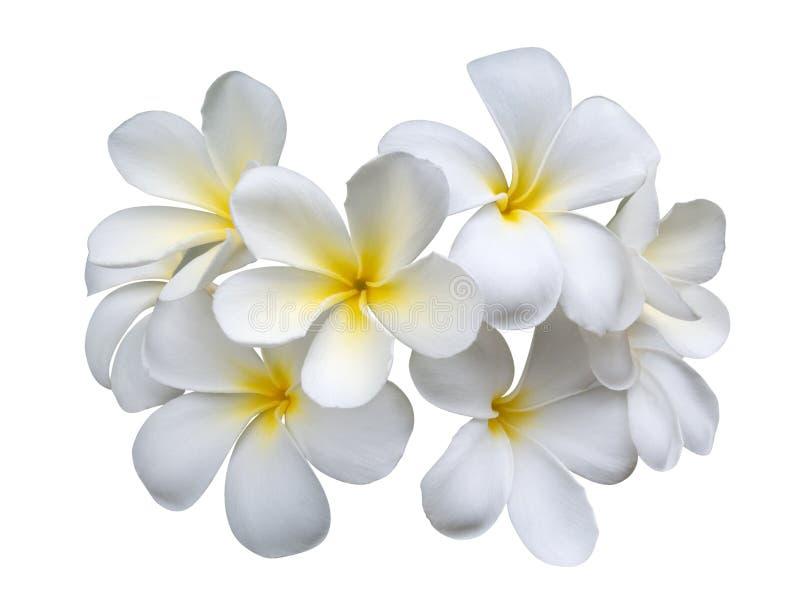 De bloemen van Frangipaniplumeria die op witte achtergrond, het knippen weg worden geïsoleerd royalty-vrije stock afbeeldingen