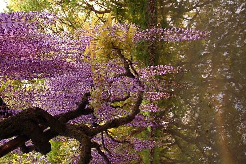 De Bloemen van Fuji stock foto's