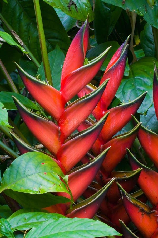 De bloemen van Heliconia royalty-vrije stock afbeelding