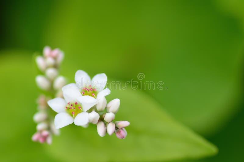 De bloemen van het boekweit royalty-vrije stock foto's
