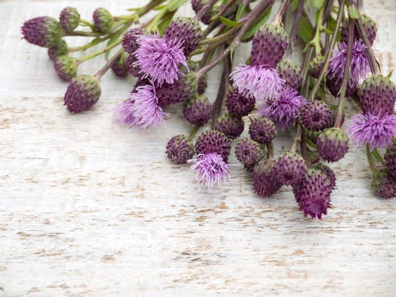 De bloemen van het de distelonkruid van Canada stock afbeelding