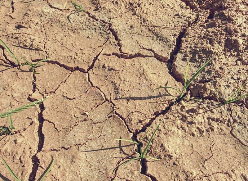 De bloemen van het maïsgraan in ijzergrond Vruchtbare grond Landbouwbedrijf en gebied royalty-vrije stock afbeeldingen