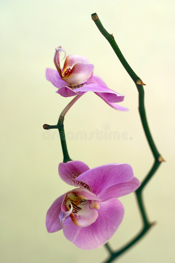 De bloemen van het paar op een tak royalty-vrije stock foto's
