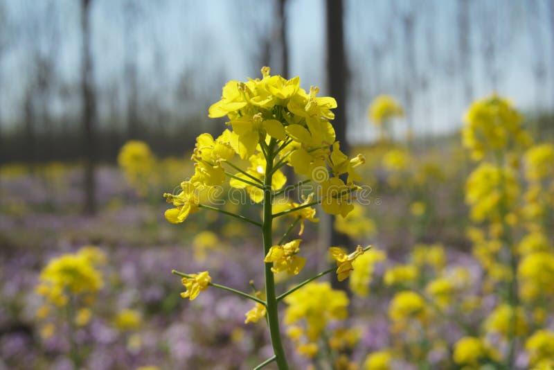 De bloemen van het raapzaad stock foto's