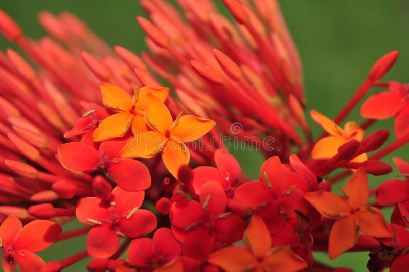 De bloemen van Ixoracoccinea/soka op groene aard royalty-vrije stock foto's