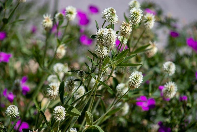 De bloemen van de klaver Klavermontanum stock fotografie