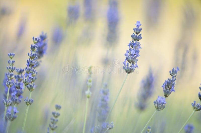 De bloemen van Lavander stock foto